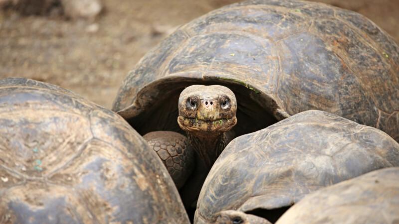 Riesenschildkröten auf Galapagos © Diamir