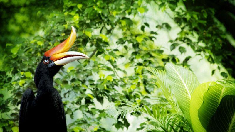 Malaysia – Borneo – Nashornvogel © Diamir
