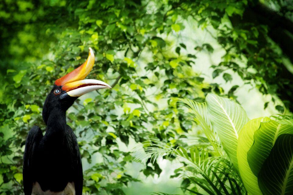 Malaysia – Borneo – Nashornvogel