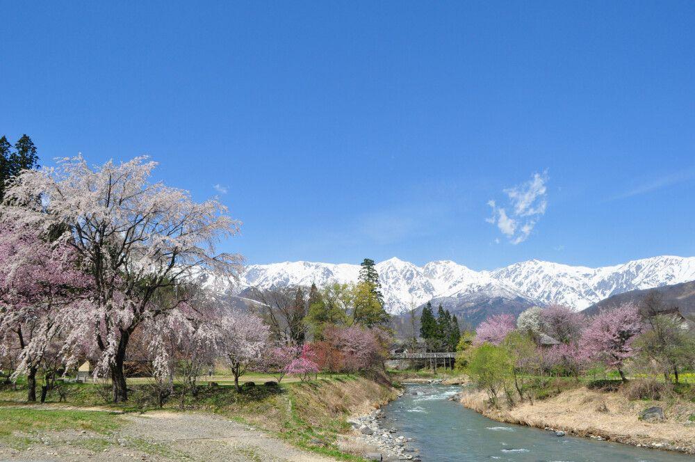 Hakuba zur Kirschblüte