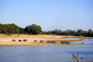 Flusspferde am Luangwa-Fluss
