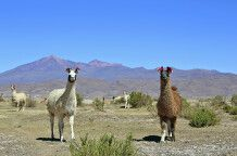 Neugierige Lamas im bolivianischen Altiplano