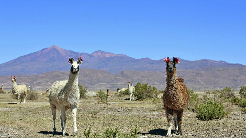 Neugierige Lamas im bolivianischen Altiplano © Diamir