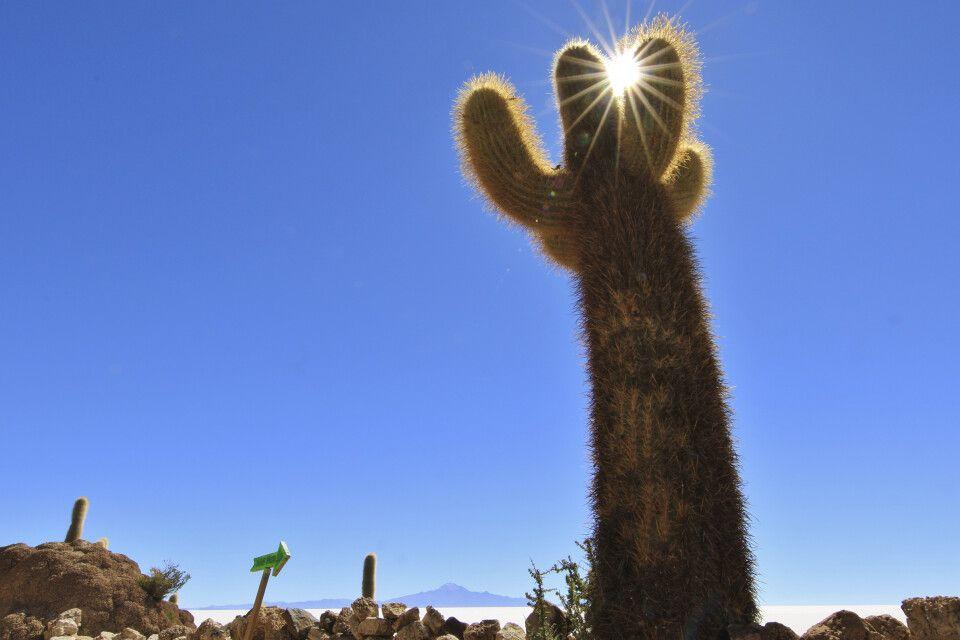 Riesige Kaktee auf der Insel Incahuasi inmitten des Salar de Uyuni