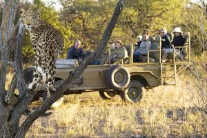Leopardensichtung auf Okonjima