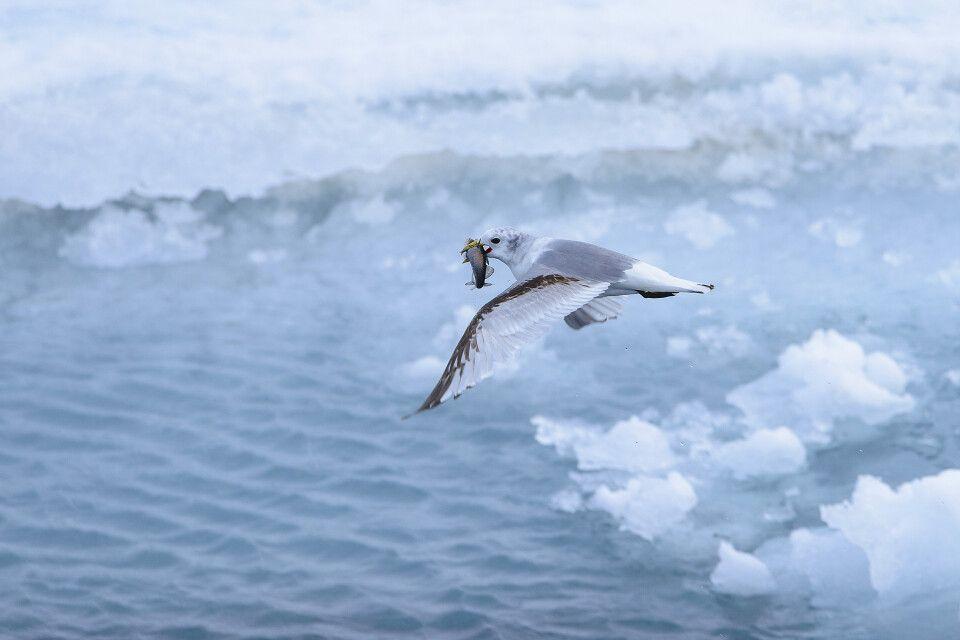 Erfolgreiche Jagd: eine junge Dreizehenmöwe mit erbeutetem Polardorsch