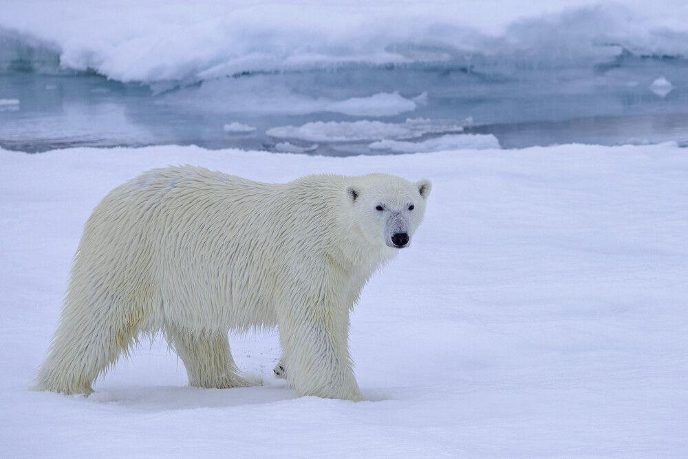 Die Neugierde siegt: Der Eisbär nähert sich dem Schiff