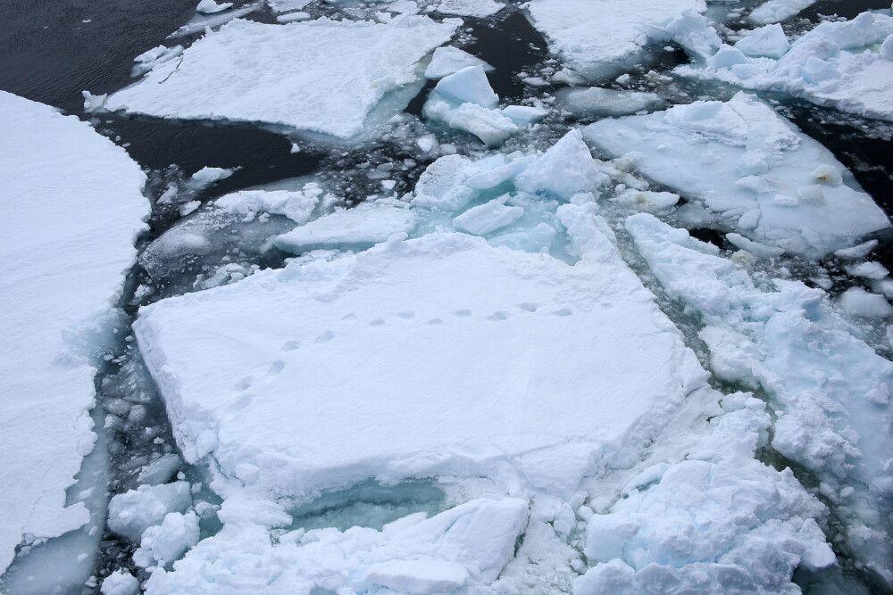 Bärenspuren im Eis