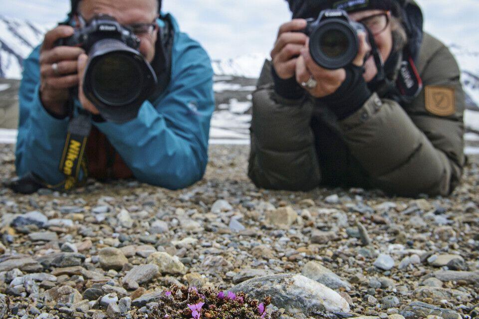 Objekt der fotografischen Begierde: die ersten Blüten des Roten Steinbrech