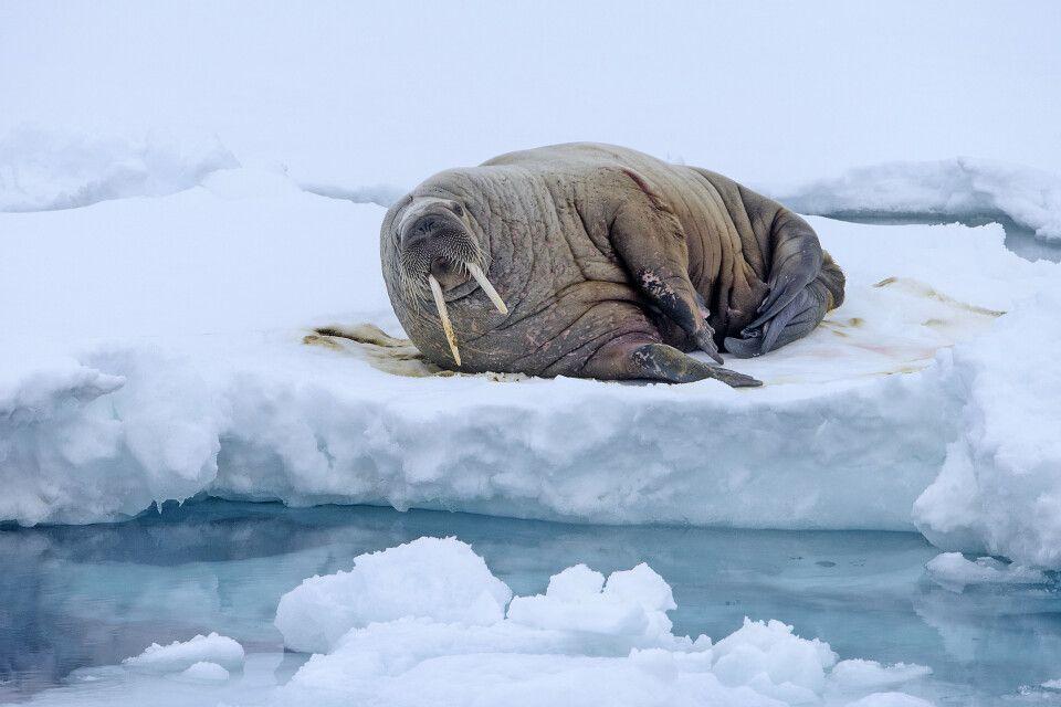 Exklusiver Ruheplatz: Walross auf dem Meereis