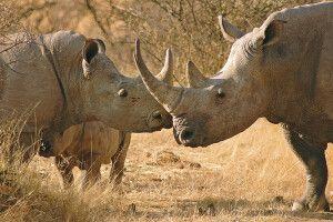 Nashorn im Etosha-Nationalpark