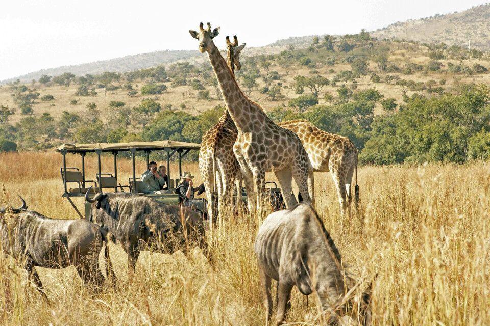 Pirschfahrt Giraffe Gnu