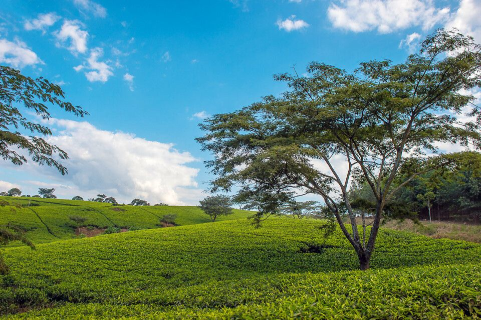 Teeplantage in Malawi, Satemwa Tea Estate