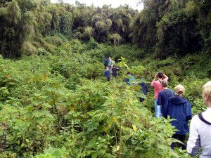 Im Nebelwald unterwegs zu den Gorillas