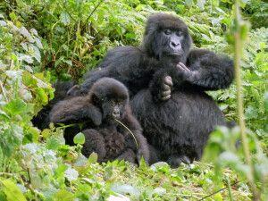 Gorillamutter und ihr Kind im Volcanoes NP