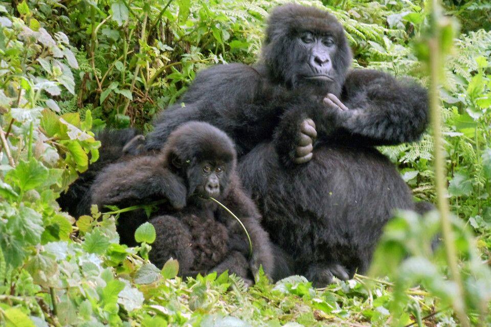 Gorillamutter und ihr Kind