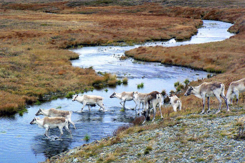 Karibus überqueren einen Fluss