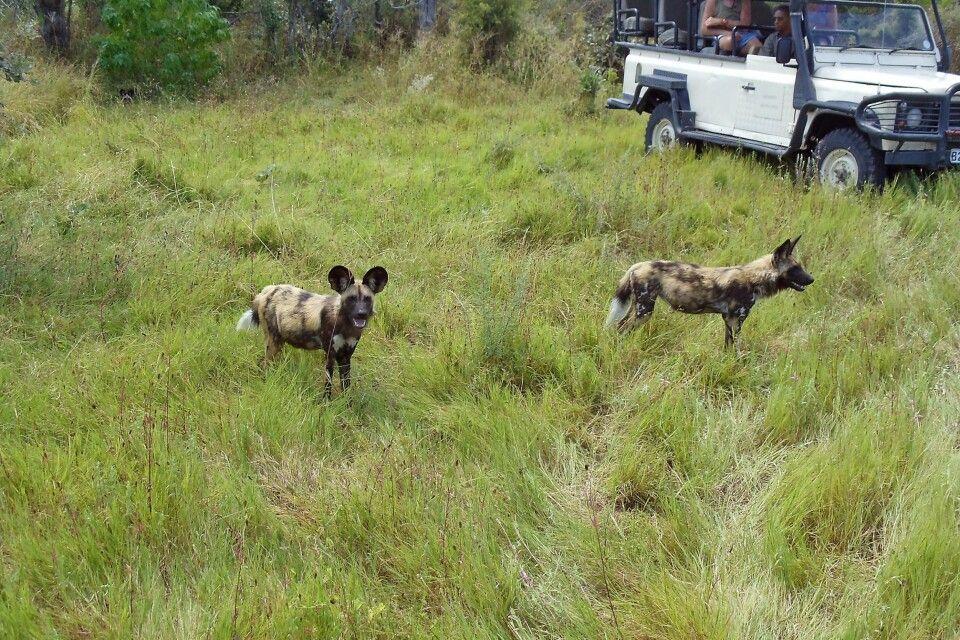 Wildhund Begegnung auf Pirsch