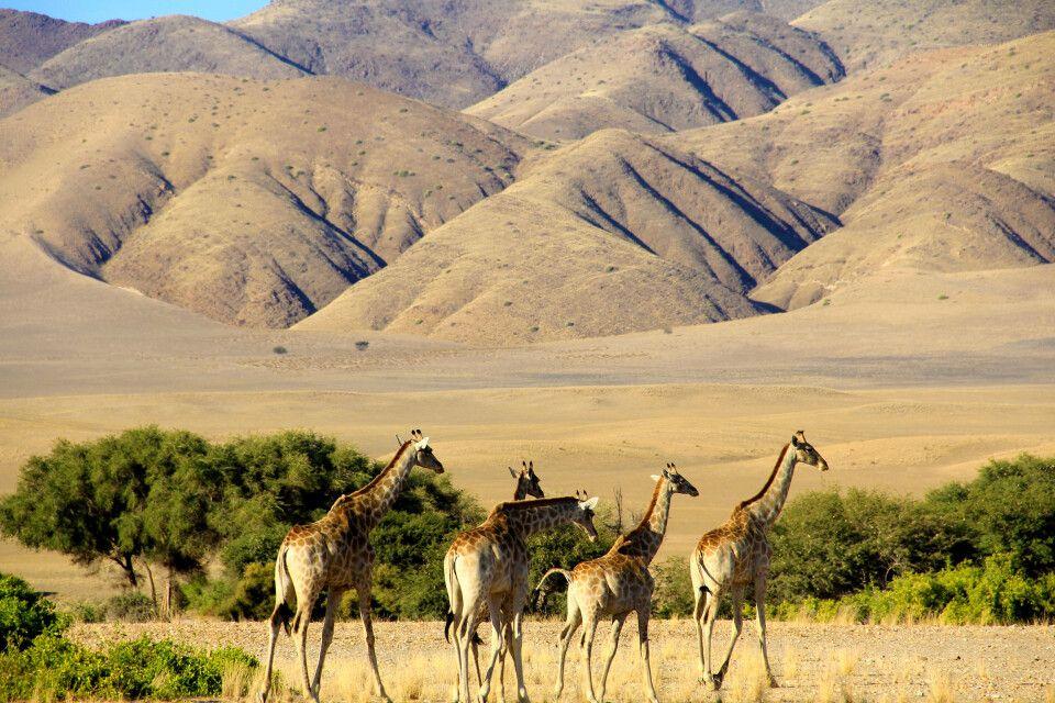 Giraffen in der Wüste