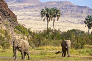 2 Wüstenelefanten