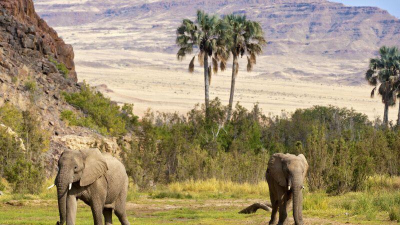 2 Wüstenelefanten © Diamir