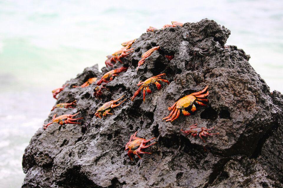 Rote Klippenkrabbe auf Galapagos