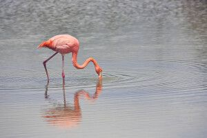 Flamingo auf Galapagos
