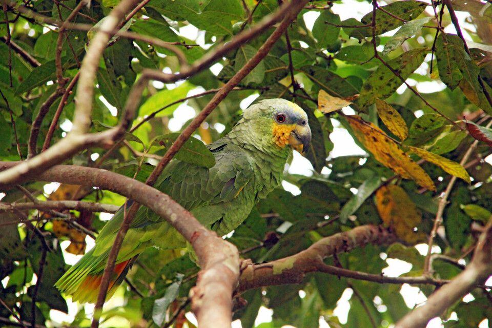 Die Venezuela Amazone ist die häufigste Art der Amazonenpapageien