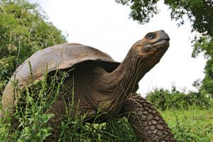 Galapagosriesenschildkröte im Grünen
