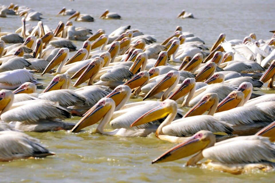 Pelikane i Djoudj Nationalpark