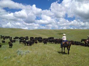 Rinder hüten, La Reata Ranch