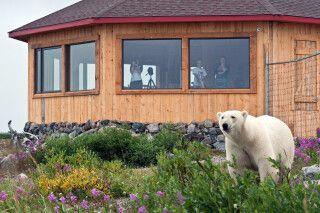 Eisbär direkt an der Seal River Lodge