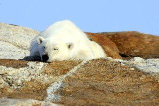 Schlafender Eisbär, Baffin Island