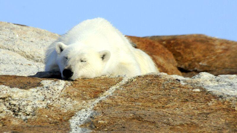 Schlafender Eisbär, Baffin Island © Diamir