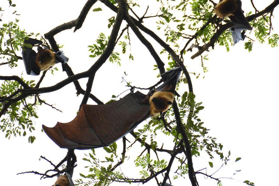 Flughunde in den Bäumen