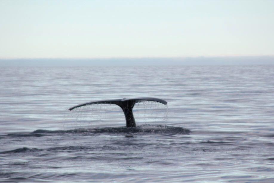 Eine Walfluke