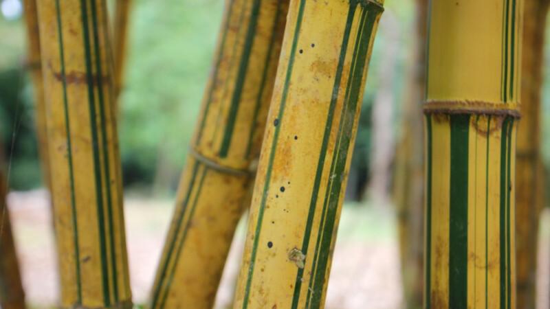 Bambus im Botanischen Garten mit schöner Maserung © Diamir
