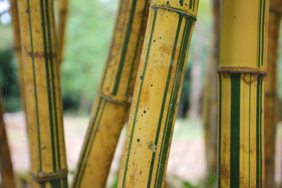 Bambus im Botanischen Garten mit schöner Maserung