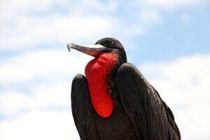 Stolzer Fregattvogel