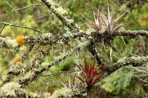 Tropische Andenvegation mit Bartflechten und Bromelien