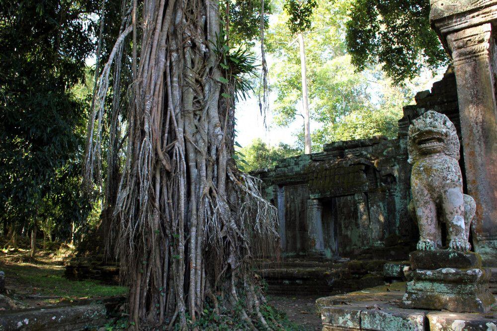 Würgefeigen mit großen Luftwurzeln im Areak von Angkor