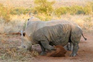 Breitmaulnashorn - gute Sichtungsschanzen im Khama-Rhino-Sanctuary
