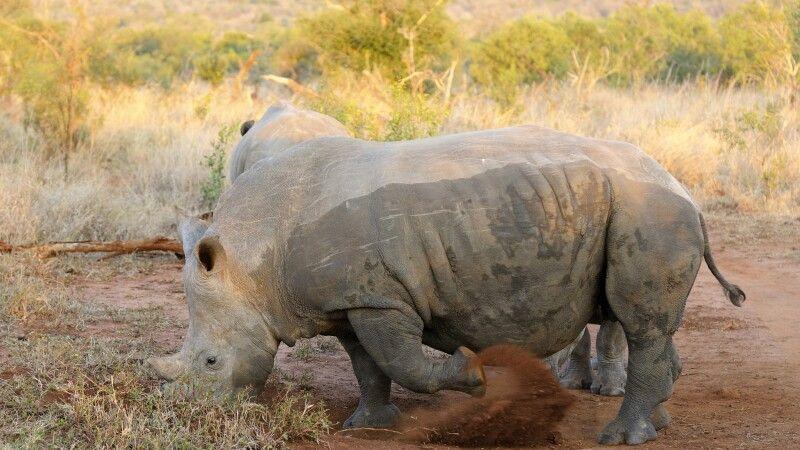 Breitmaulnashorn, Mkhaya Game Reserve, Eswatini © Diamir