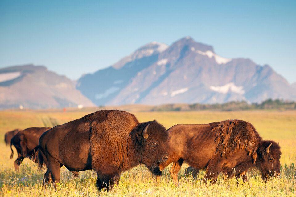 Bisons, Blackfeet Indian Reservation, Montana
