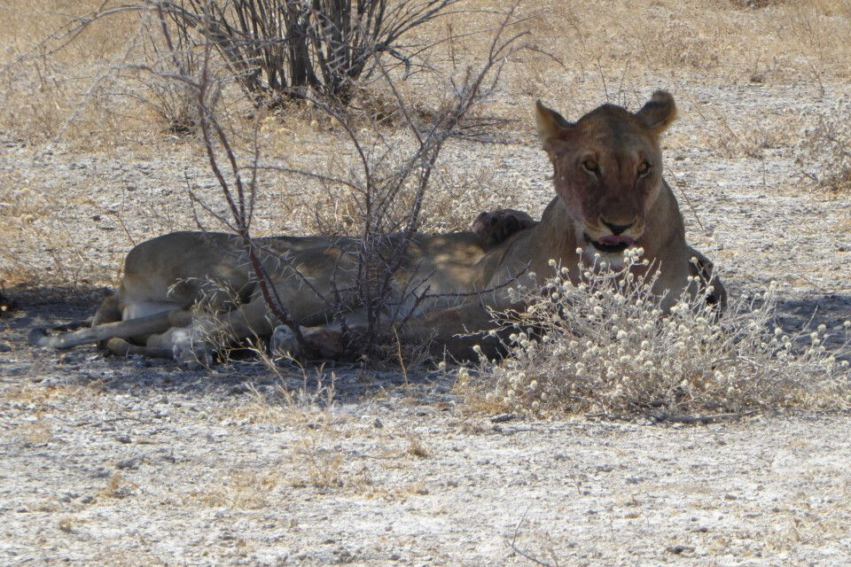 Löwen im Etosha-Nationalpark
