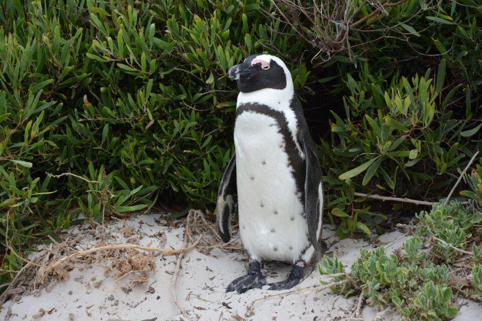 Und auch der Pinguinkolonie am Bolders Beach statten wir einen Besuch ab. Einige Exemplare stellen sich gern als Fotomodel zur Verfügung.