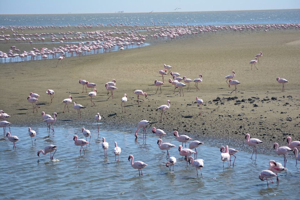 Auf dem Weg nach Swakopmund  halten wir in Walvis Bay, wo sich im Wasser tausende von Flamingos einfinden und ein wahrlich pinkfarbenes Fotovergnügen bereiten.