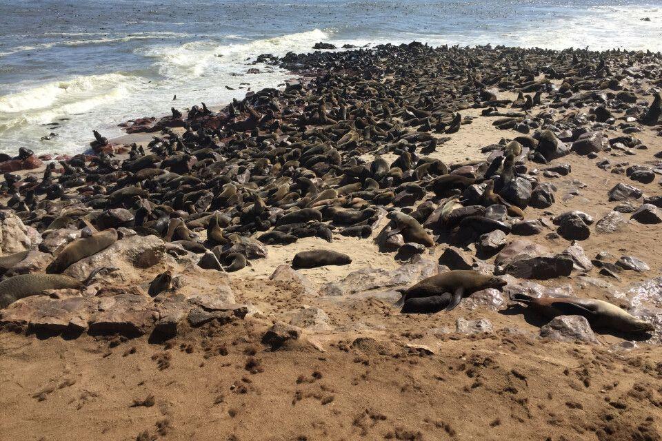 Auf dem Weg besuchen wir die riesige Robbenkolonie am Cape Cross. Tausende Exemplare tummeln sich hier am Strand und im Wasser und sorgen für eine ganz besondere Geräusch- und Geruchskulisse.