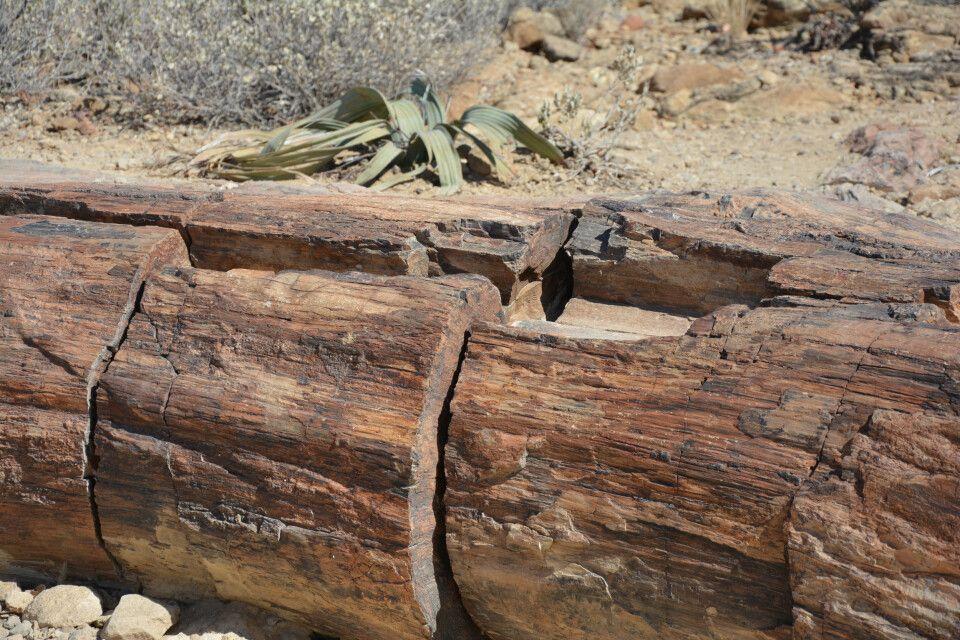 Auf dem Weg zum Etosha-Nationalpark passieren wir die Versteinerten Wälder. Wie der Name besagt, finden sich hier zahlreiche versteinerte Baumstämme und auch die Urpflanzen namens Welwitschia.