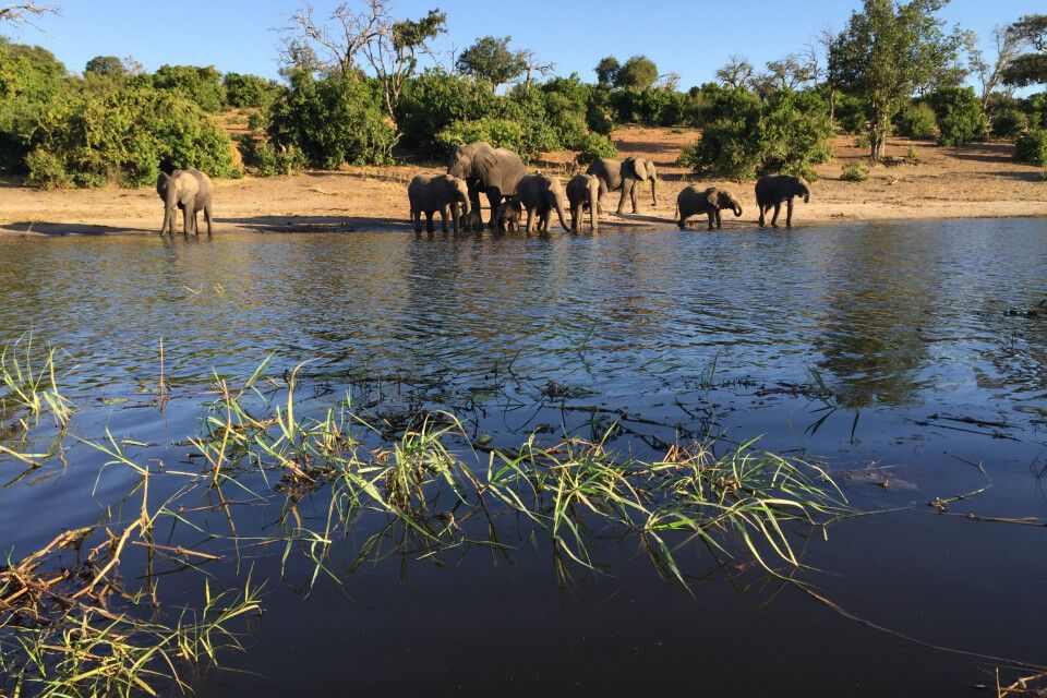 Auf dem Weg nach Kasane, der Stadt am Fluss Chobe, sind wir bereits einigen Elefanten, Giraffen und Büffeln begegnet. Bei einer Bootstour auf dem Chobe treffen wir zahlreiche Büffel, Giraffen, Warane, verschiedene Wasservögel, Kudus, Impalas und Paviane a